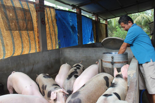 Giá heo hơi bán tại trang trại rẻ bèo nhưng khi đến tay người tiêu dùng vẫn ở mức cao.