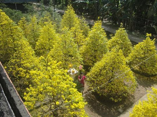 Con người trở nên quá nhỏ bé giữa rừng mai vàng đang khoe sắc ngày xuân.