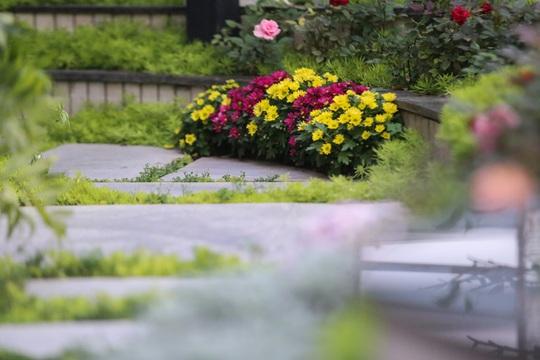Hoa cúc rực rỡ trên lối đi.