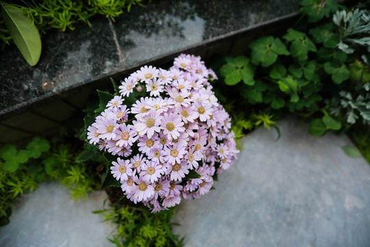 Hoa cúc đan xen trong khu vườn mùa xuân.