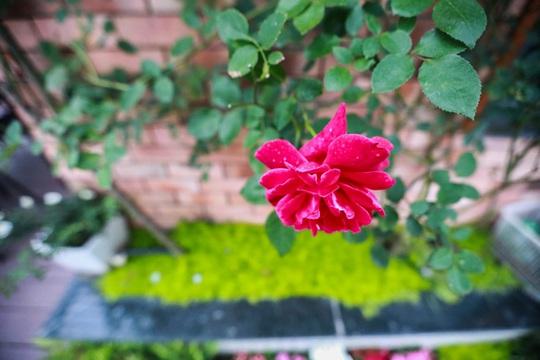 Những cành hồng duyên dáng tô điểm cho ban công thêm dịu dàng, quyến rũ.
