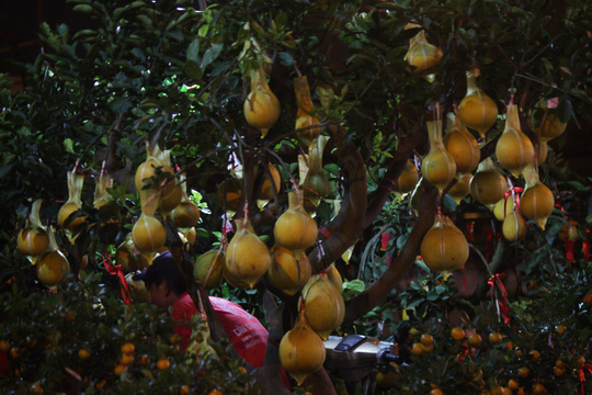 Những cây bưởi lúc lỉu quả được bày bán với giá 25 triệu đồng/ cây.