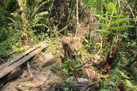 Dưới những gốc cây bị chặt hạ, mới có, cũ có