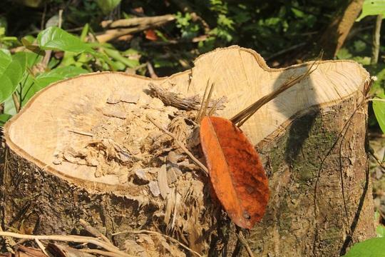 Nhiều cây gỗ bị lâm tặc chặt hạ