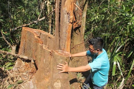 Nhiều gốc gỗ 2-3 người ôm không xuể bị đốn hạ