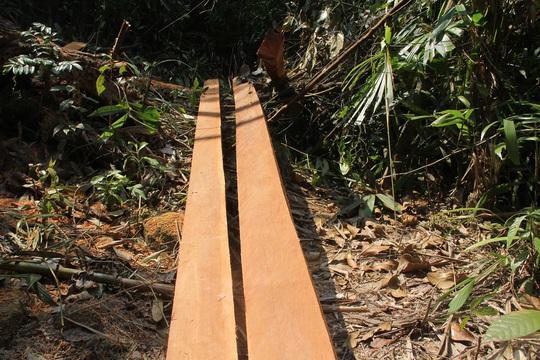 Nhiều cây gỗ vừa mới được cưa xẻ
