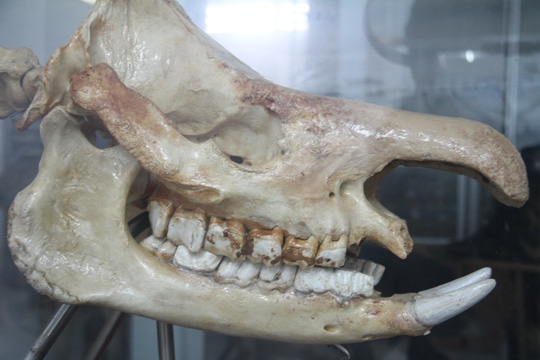 Chiêm ngưỡng bộ xương tê giác Java cuối cùng của Việt Nam - Ảnh 4.