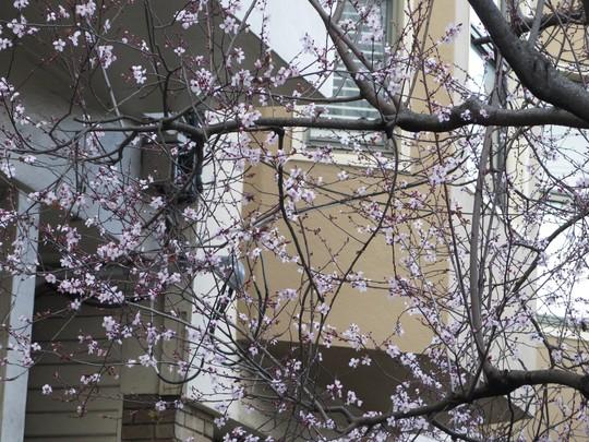 Cận cảnh hoa đào trên đường Lombard