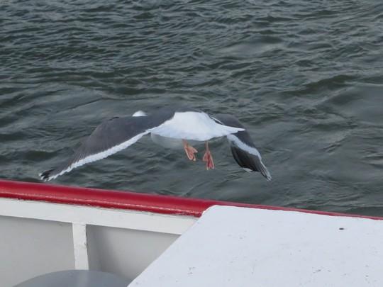 Những chú chim biển dạn dĩ bay đi bay về và đậu trên boong tàu.