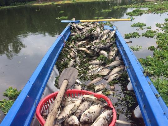 Cá rô phi chết được vớt lên để tiêu hủy