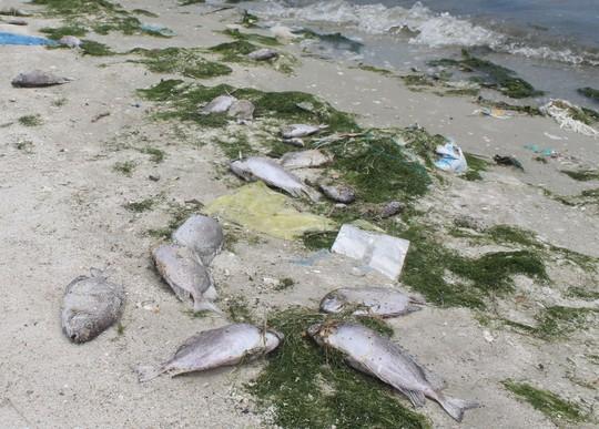Cá tự nhiên chết dạt vào bờ sau sự cố của Nhà máy Đường Khánh Hòa