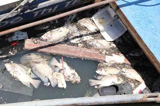 Loại cá chết đa số là cá rô phi, nhiều con to hơn bàn tay