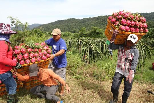 Thanh long Bình Thuận lao đao vì giá sụt giảm kỷ lục - Ảnh 2.