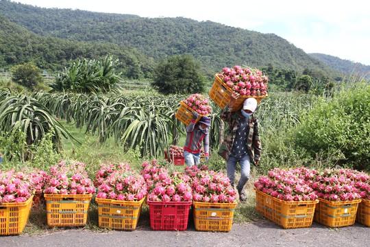 Thanh long Bình Thuận lao đao vì giá sụt giảm kỷ lục - Ảnh 1.