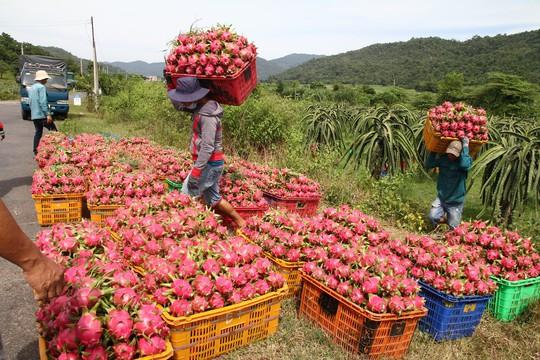 Thanh long Bình Thuận lao đao vì giá sụt giảm kỷ lục - Ảnh 3.