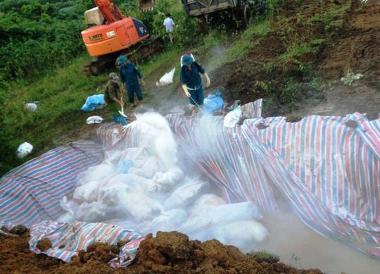 Gom 4.000 con lợn chết do mưa lũ đi tiêu hủy - Ảnh 2.