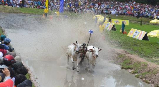 Du khách sẽ thường xuyên được xem những khoảnh khắc dậy bùn như thế này tại sân đua bò mới của TP Châu Đốc vào dịp cuối tuần