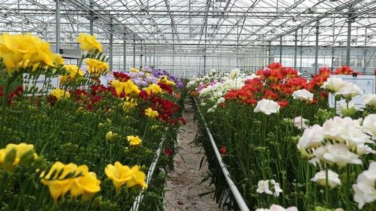 Khu Freesia giới thiệu về hoa loa kèn