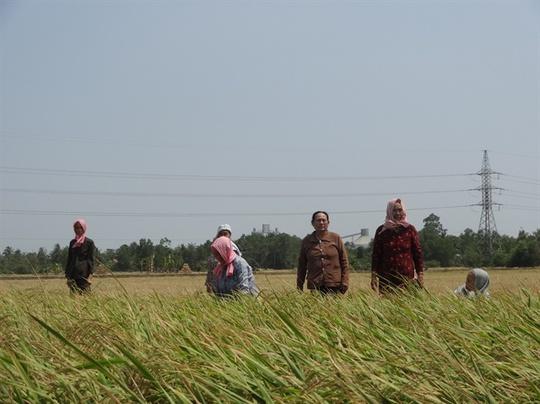 Thương nhân Trung Quốc giảm giá, tồn đọng hàng trăm ngàn tấn lúa nếp - Ảnh 1.