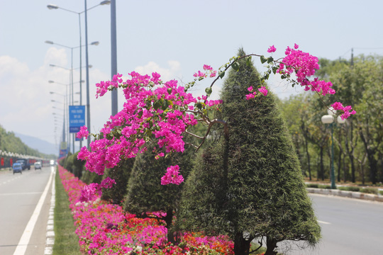 Không chỉ trải ra từng thảm nằm sát mặt đất, những chùm hoa giấy len vào giữa những cây dương, chìa cành hoa đủ sắc màu ra đón ánh nắng. Chính nền xanh của cây dương lại tạo thành điểm nhấn cho hoa giấy khoe sắc rực rỡ.