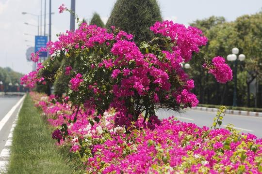 Đây là loài hoa không hương nhưng khiến ai cũng ngoái nhìn. Hoa giấy đã góp phần làm đẹp thêm cho mùa hè sôi động.