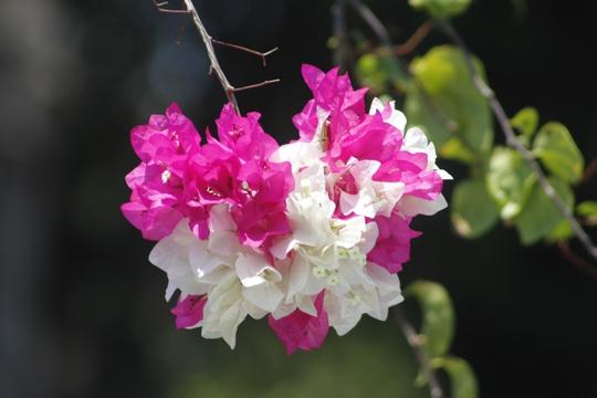 """Chị Nguyễn Kiều Anh (du khách TP HCM) đã phải trầm trồ khi đặt chân lên những con đường đầy hoa nơi đây. """"Rời khỏi TP HCM đông đúc, tới Vũng Tàu và nhìn qua cửa kính ô tô, tôi bị đắm chìm bởi màu sắc của loài hoa trên những cung đường kéo dài hàng chục cây số. Tôi cảm nhận được sự tươi mới, tràn đầy sức sống nơi đây"""" - chị Kiều Anh chia sẻ."""