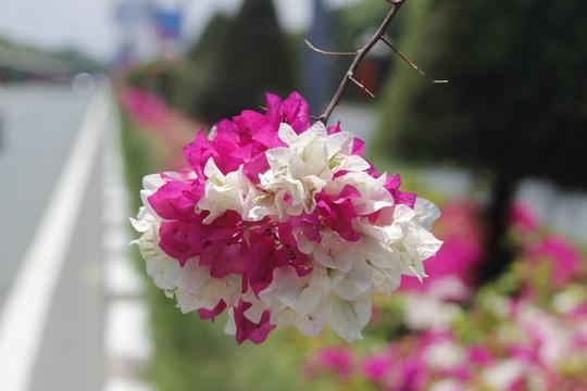 Trong những năm qua, Vũng Tàu đã có những chuyển biến tích cực để tạo dấu ấn du lịch. Và chính những con đường đầy hoa này đã tạo nên điểm nhấn hút hồn du khách mỗi dịp đến thăm.