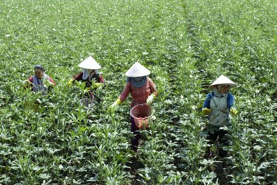 Nông dân vùng biên giới An Giang trồng đậu bắp Nhật thu nhập gấp 2-3 lần so với cây lúa