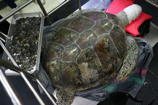Rùa biển Omsin nằm bên cạnh gần 1.000 đồng xu mới được gắp ra từ bụng mình. Ảnh: Reuters