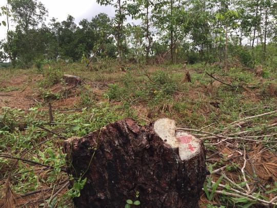 Rừng thông đặc dụng ở thành phố bị biến mất giữa ban ngày - Ảnh 1.