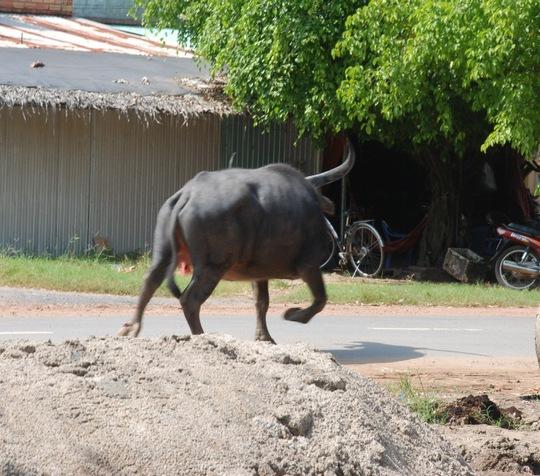 """Con trâu điên hoảng loạn chạy dọc """"làng cà phê"""" trên đường An Dương Vương."""