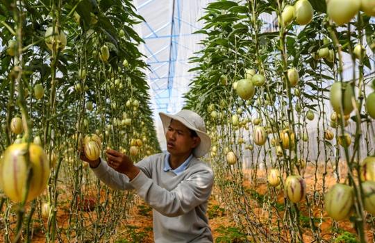 Tết năm nay, anh Nguyễn Định (31 tuổi, phường 8, TP Đà Lạt, Lâm Đồng) sẽ bán ra thị trường giống dưa hấu tí hon. Những ngày này, tại trang trại trong lồng kính của mình, anh Định tất bật chăm sóc, thu hoạch dưa.