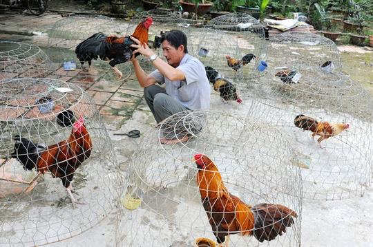 Làng nuôi gà đá nhiều nhất ở 3 xã Vĩnh Bình, Long Thới và Vĩnh Thành (huyện Chợ Lách - Bến Tre)