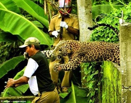 Một con báo đã trốn thoát khỏi Sanctuary Wildlife Mahananda ở Ấn Độ, đã rất hung dữ khi bất ngờ tấn công người đàn ông. Tuy nhiên, người đàn ông may mắn sống sót, con báo đã bị bắn chết