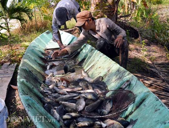 Thuốc cá vuông là hoạt động thường niên của bà con nuôi tôm quảng canh, nhằm chuẩn bị cho vụ tôm mới