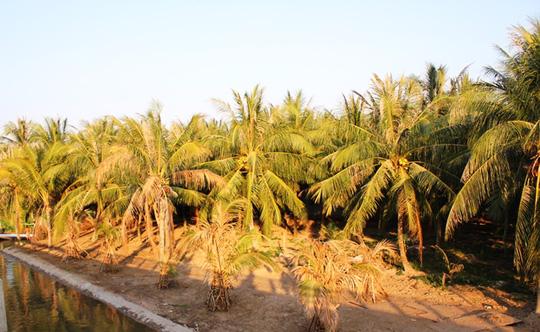 Vườn dừa giảm năng suất sau đợt hạn mặn