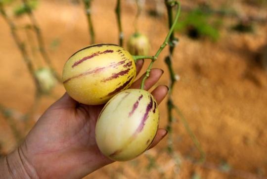 Người trồng cho biết, giống dưa hấu tí hon có tên chính xác là dưa Pepino hay còn gọi là dưa hấu Nam Mỹ do có nguồn gốc từ vùng này. Mỗi quả chỉ nặng từ 200 tới 300gr.