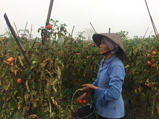 Người dân trồng cà chua đang hái về nấu cho lợn ăn