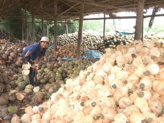 Năng suất dừa giảm, người trồng dừa gặp khó