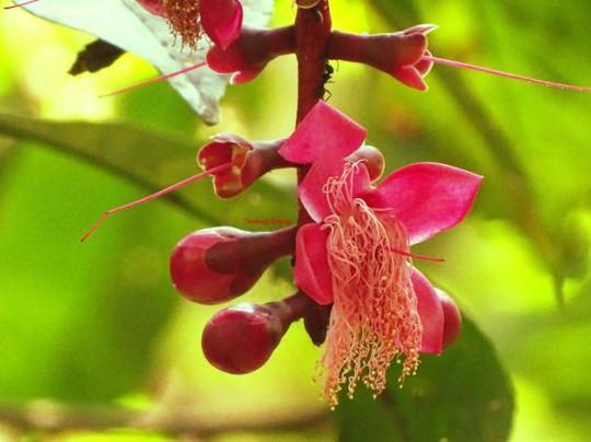 Hoa chiếc tam lam có màu đỏ hồng, nụ hoa to, hoa có 4 cánh dài khoảng 2cm, nhụy hoa tua tủa