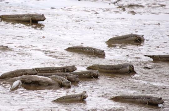 Khi thủy triều xuống các bãi sình lầy lộ ra, cá lác từ hang sâu dưới đất chui lên phơi nắng. Đây là thời điểm thích hợp để người dân buông câu.