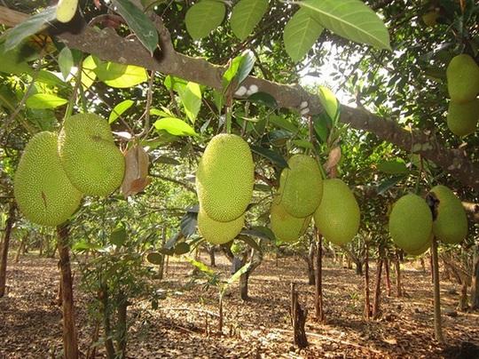 Mít Thái lá bàng có ưu điểm là ra trái quanh năm, ít sâu bệnh.