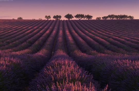 Thiên đường oải hương tràn sắc tím giữa lòng Provence - Ảnh 2.
