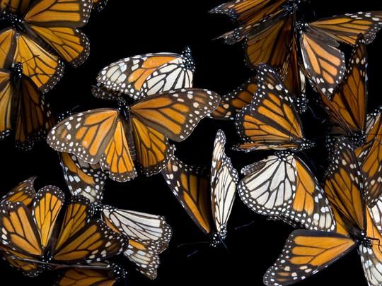Những cuộc di cư ngoạn mục trong thế giới động vật - Ảnh 2.
