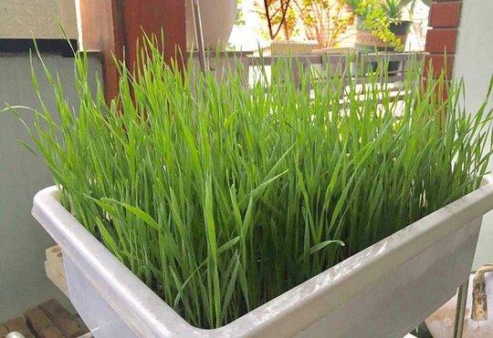 Đua nhau trồng lúa mì trong nhà - Ảnh 1.