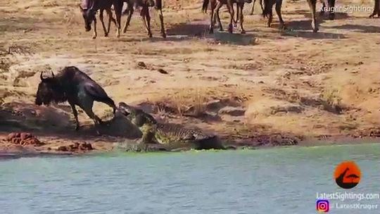 Hà mã cứu linh dương thoát khỏi cá sấu - Ảnh 2.
