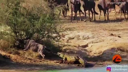 Hà mã cứu linh dương thoát khỏi cá sấu - Ảnh 3.