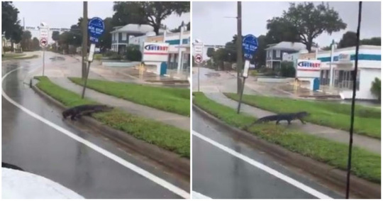 Mất nhà vì bão Irma, cá sấu lang thang ở Florida - Ảnh 1.