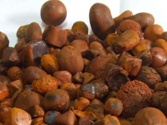 Sỏi mật trâu bò đắt như vàng ròng: 300 triệu/kg - Ảnh 1.