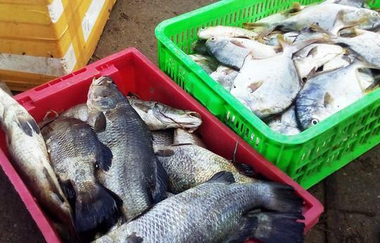 """Hàng chục tấn tôm hùm, cá mú, cá bớp… """"rẻ như cho"""" - Ảnh 1."""